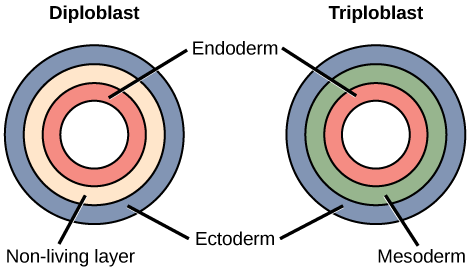 platyhelminthes diploblastic triploblast)