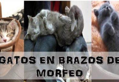Gatos en Brazos de morfeo
