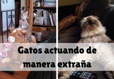 Gatos actuando de manera extraña