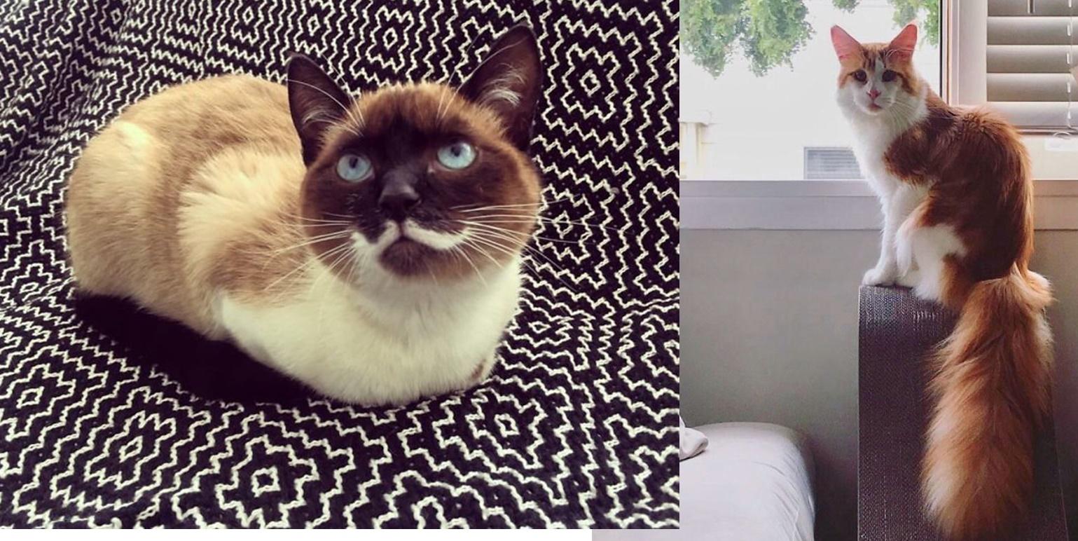 15+ marcas de pelajes de gatos muy divertidas , amaras del corazón en la nariz