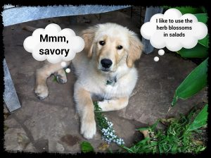 Daisy the puppy is thinking about fresh herbs