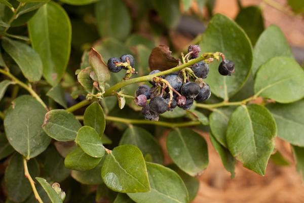 Jubilee blueberry bush | Recipe Renovator