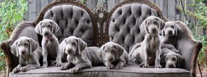 Puppies from Barrett Weimaraners | Dog Days of Summer