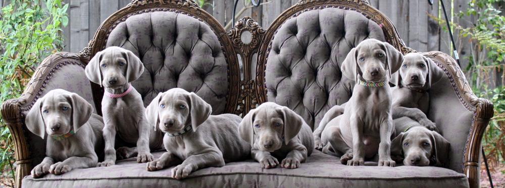 Puppies from Barrett Weimaraners | Dog Days of Summer