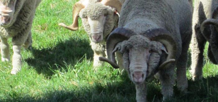 Shepherding Those Who Don't Want a Shepherd