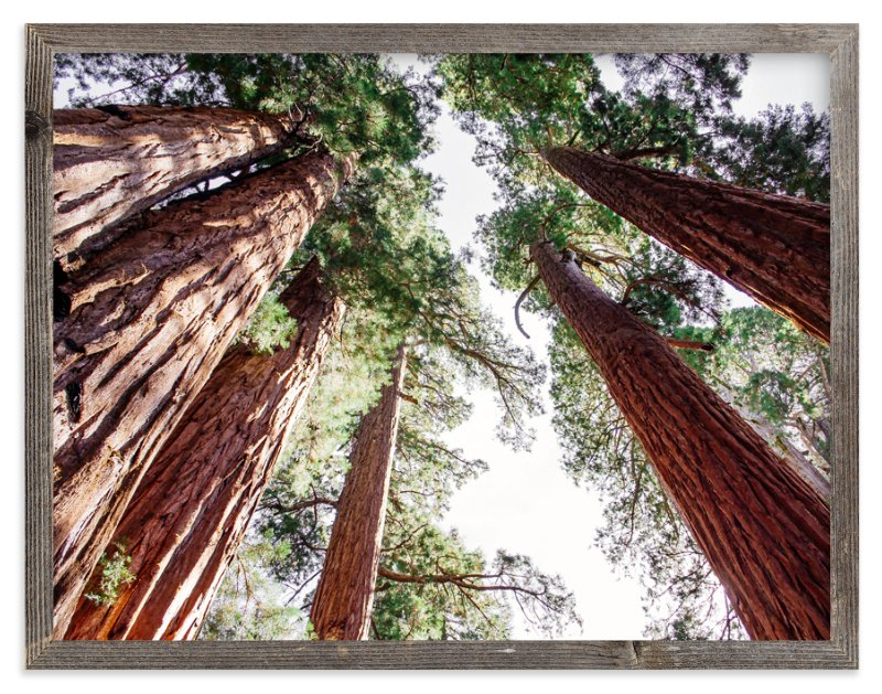 """""""Soaring Sequoias"""" - Limited Edition Art Print by Matthew Sampson in beautiful frame options and a variety of sizes."""
