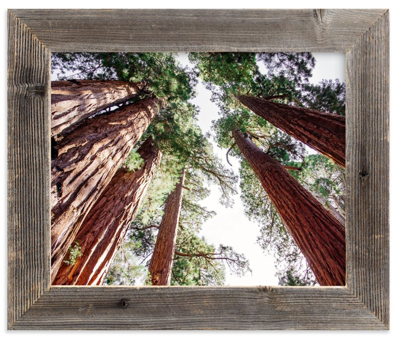 """Soaring Sequoias"" - Limited Edition Art Print by Matthew Sampson in beautiful frame options and a variety of sizes."