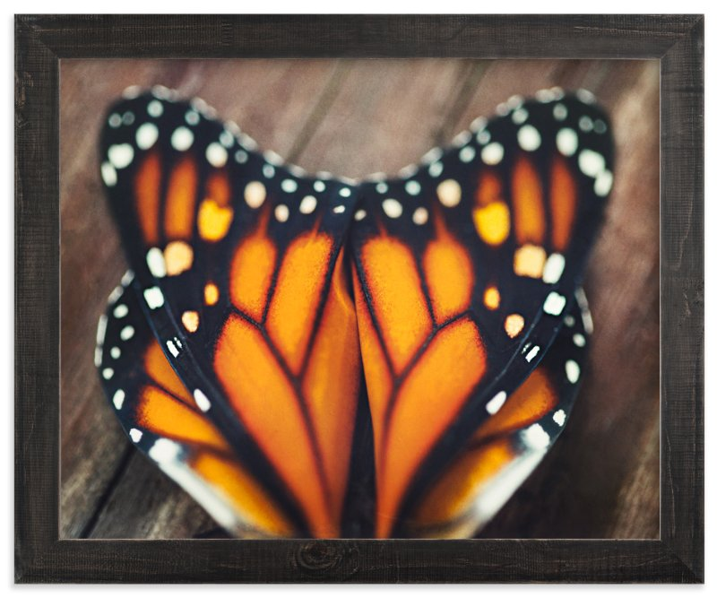 """""""Monarch Study #3"""" - Art Print by Stacy Kron in beautiful frame options and a variety of sizes."""