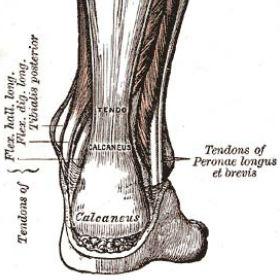 Achilles Tendon (greys anatomy)