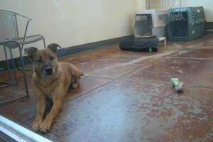 A dog in the SPCA seeking new home (M.N.K)