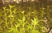 A police poster shows an illegal marijuana growing operation.