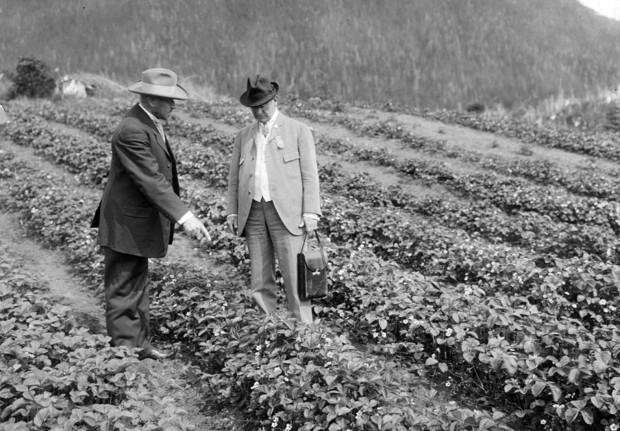 Inspecting Strawberry Plants. Image Courtesy of the Library of Congress