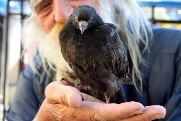 Lonestar Swan and a juvenile pigeon at 16th Street BART Station.