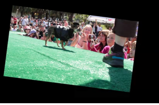 Chihuahuas Strut Stuff on Dolores Park Runway