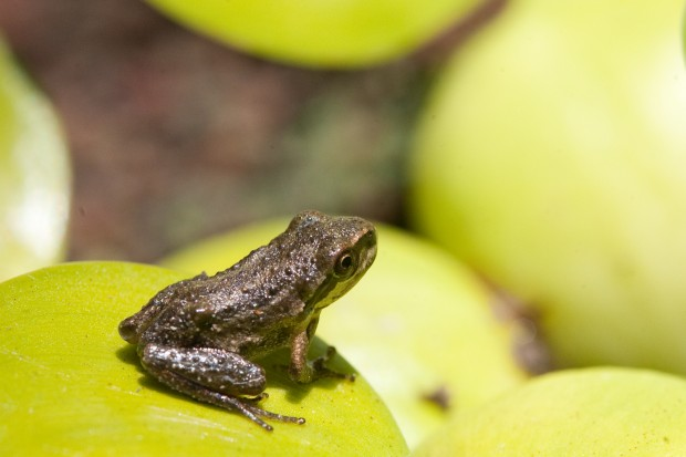 The Pacific Chorus Frog, in a rare moment of actually posing for the camera instead fo hiding under a leaf. Photograph by Lori Eanes.