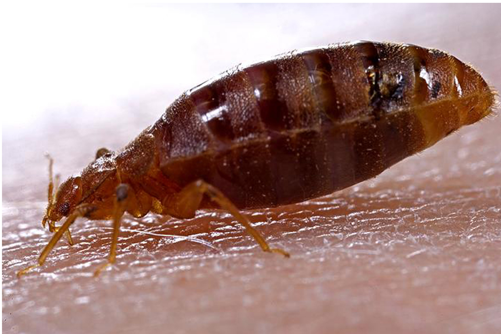 Public Asked to Weigh in on New Bed Bug Regulations
