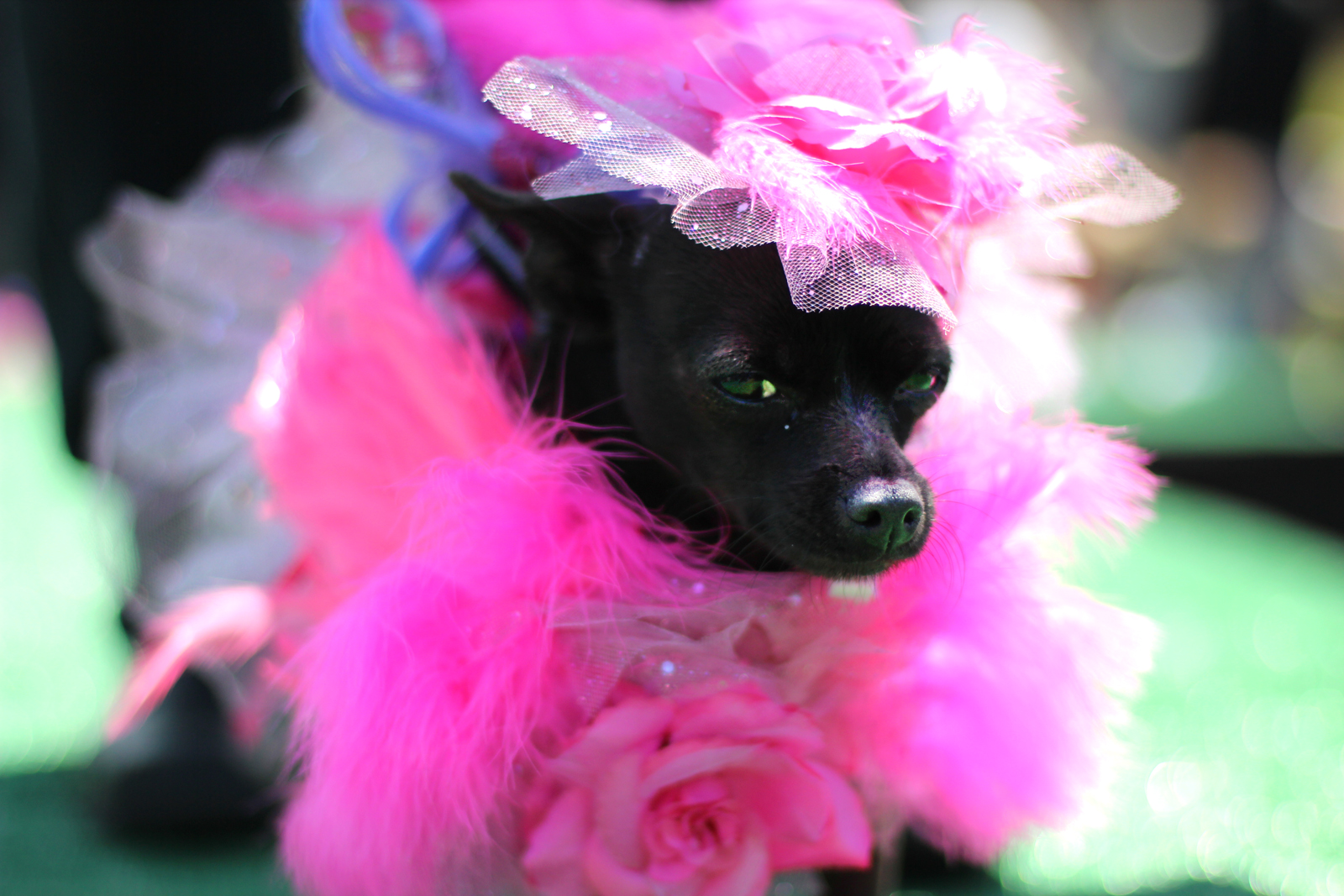Dogs Hit the Catwalk at Dolores Park