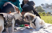 Two small dogs meet on a blanket on a warm weekend afternoon at Dolores Park.
