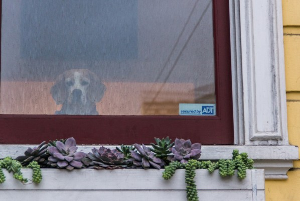 A beagle stares out plaintively from a dirty window.