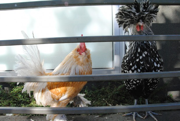 Image shows two chickens.