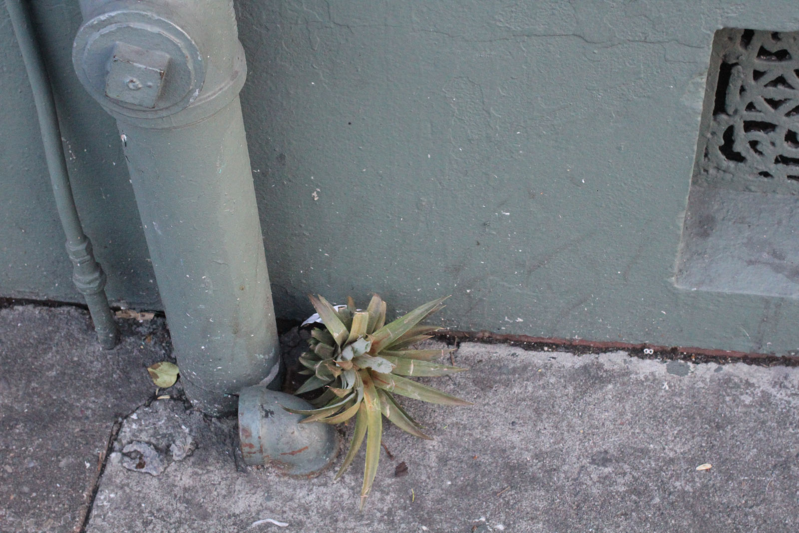 pineapples grow from here