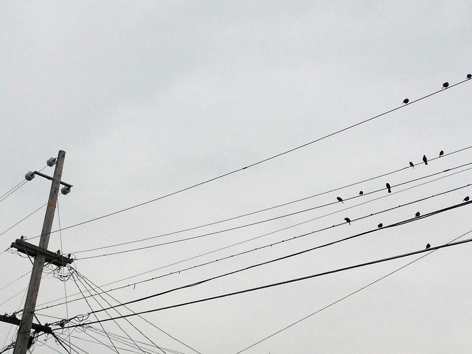 Birds perched on a telephone line at 26th and Treat.