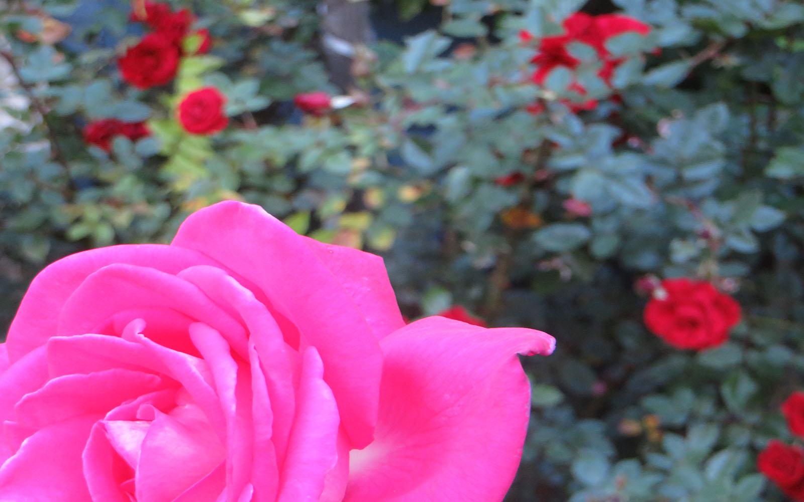 SNAP: Killer Roses
