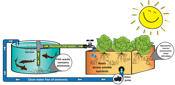Graphic of aquaponic agriculture courtesy of Viridis Aquaponic Growers.