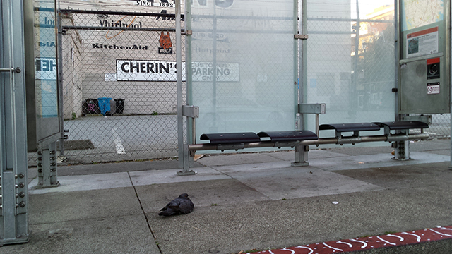 Tired-ass pigeon waiting for Muni. Photo by Robert Taylor