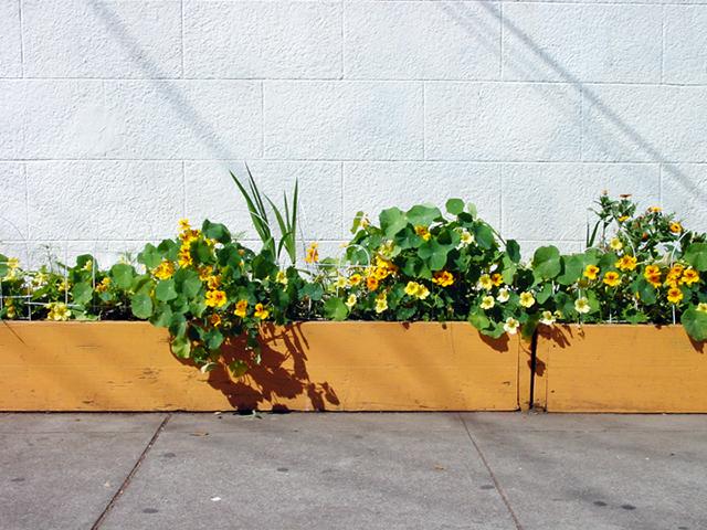 Nasturtiums. Photo by Cynthia Wigginton