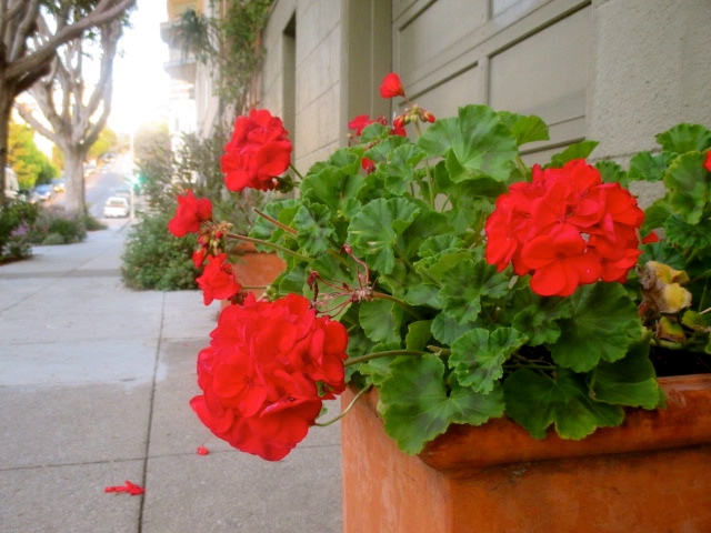 SNAP: Bright Red Geraniums