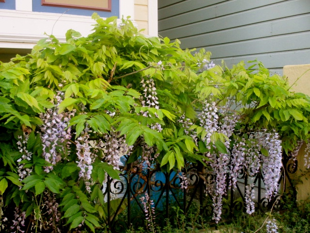 Wisteria over iron fence Photo by Kathleen Narruhn