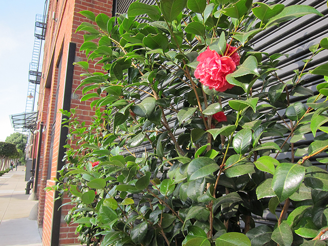 One of the few blooms that brighten up the block. Photo by Lily Liang