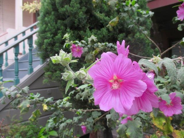 Pretty Pink Hollyhocks