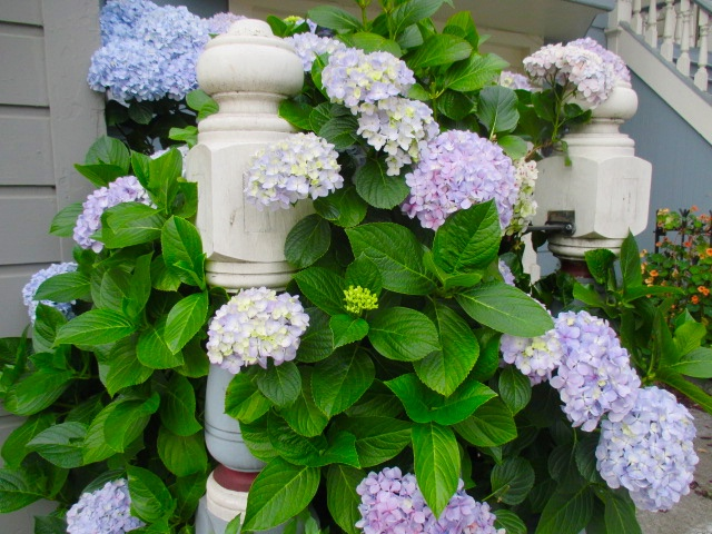 Hydrangea Blooms Photo by Kathleen Narruhn