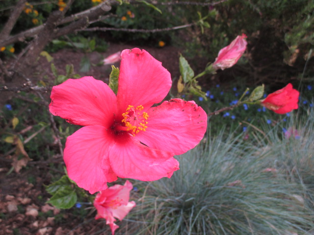 Infested Hibiscus Photo by Kathleen Narruhn