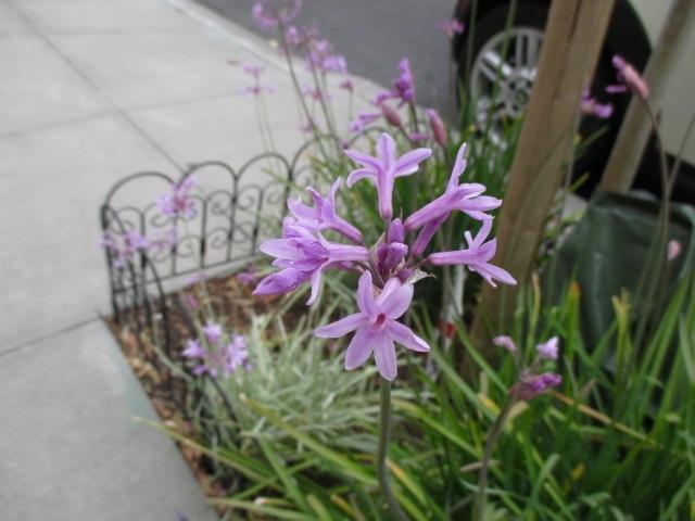 Delicate Purple Flowers Photo by Kathleen Narruhn