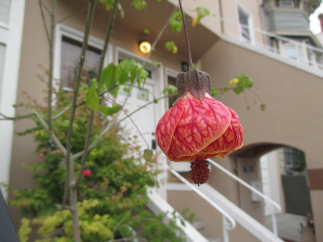 Different type of Fuchsia Photo by Kathleen Narruhn