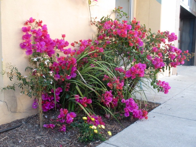 Colorful Bougainvillea Photo by Kathleen Narruhn