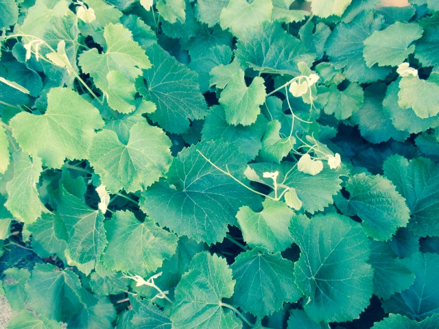 Grape Leaves Maybe Photo by Kathleen Narruhn