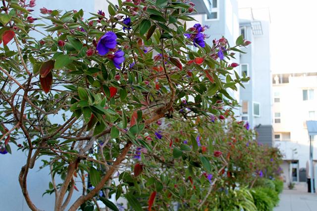 Princess plant. Photo by Anita O'Brien