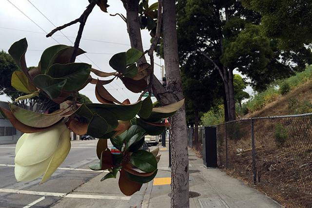 Magnolia. Photo by Lydia Chávez
