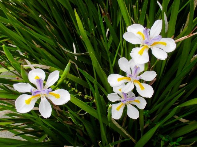 Mini Iris Photo by Kathleen Narruhn