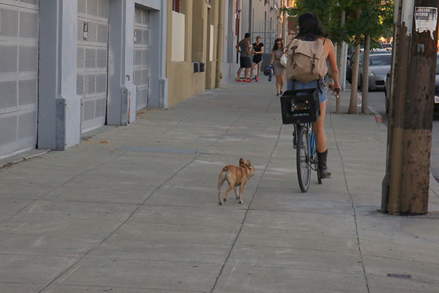 Woman rides down Harrison Street with her French Bulldog in hot pursuit. Photo by Janet Kornblum