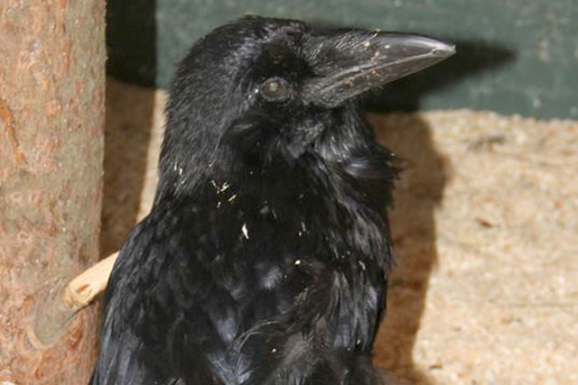 SF's Randall Museum Mourns Death of Two Ravens