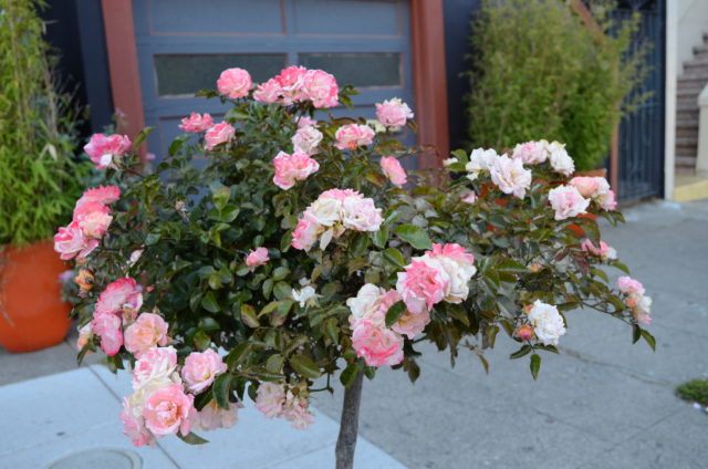 SNAP: Roses along 22nd Street