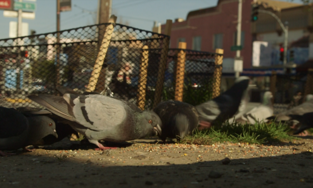 Pigeon pedicure: Doing the nails of the Mission's pigeons