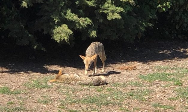 Snap: Coyotes on Goat Hill