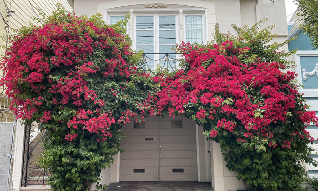 Snap: Bougainvillea to you
