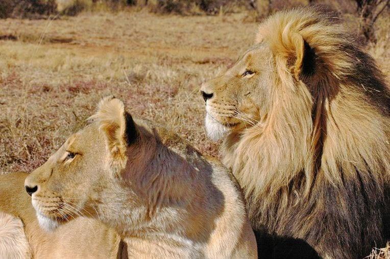 Campanha de marketing: imagem de dois leões pai e filho